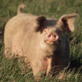 Healthy Pork Chop